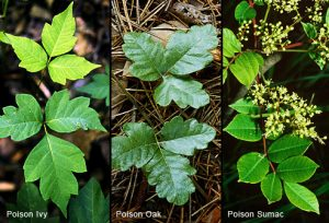6 Facts About Poison Ivy That You Didn't Know
